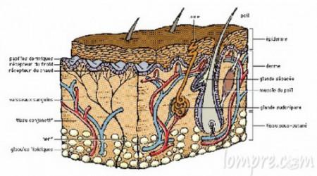 derme-histologue